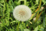 close photo of dandelion with soft white fluff