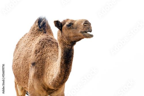 Fotobehang Abu Dhabi Desert Camel