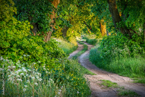 Fototapety, obrazy : Tree alley linden, spring landscape