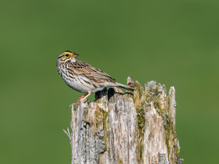 Savannah Sparrow Perched on Post