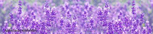 field lavender flowers - 156849563