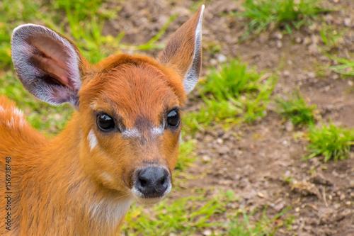 Poster Antilope Western sitatunga marshbuck with orange fur white stripes