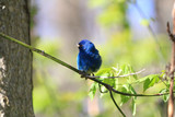 Indigo Bunting male perched on branch in early spring - 156948354