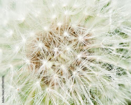 White dandelion, macro © E.O.