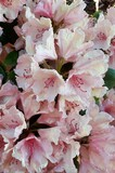 Beautiful rhododendron with white / pink / yellow flowers