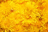 Big bunch of yellow dandelions, closeup