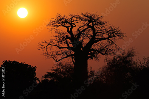 Aluminium Baobab Sunset with a silhouetted baobab tree, Kruger National Park, South Africa.