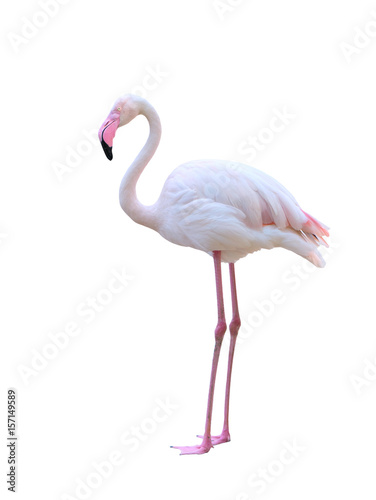 greater flamingo isolated on white background Poster