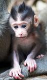 Little baby monkey in ubud