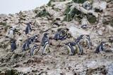 Humboldt penguin (Spheniscus humboldti) on the rocks of the Ballestas Islands in the Paracas National park, Peru.