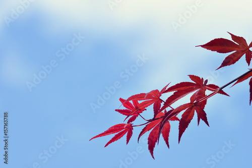 青空と赤い紅葉の葉 Poster