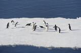 Pingüinos Adélia en la Antartida
