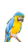 Parrot isolated white background.