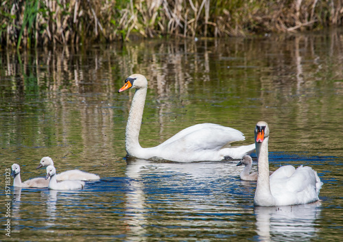 Fotobehang Two week old mute swan babies swimming together with their parents on a pond in the district of Buechenbach of the city of Erlangen