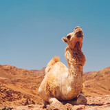 Camel in Dahab Mountains