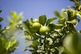 Ripening fruits lemon tree close up shot