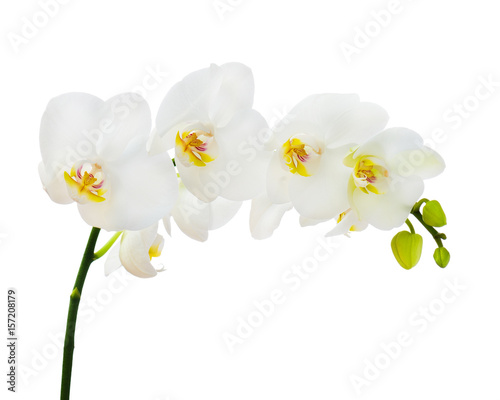Delicate orchid branch blossoming with large white flowers isolated on white background. Blooming twig of Phalaenopsis orchid flower. - 157208179