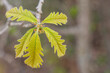Spring Bur Oak Leaves Closeup