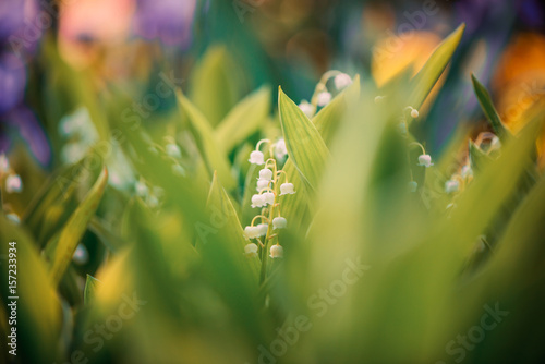 Aluminium Lelietjes van dalen lily of the valley at colorful sunset background