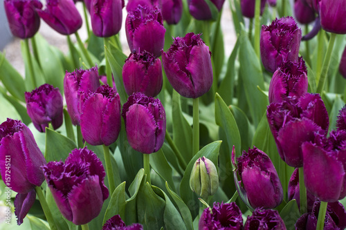 Many beautiful violet tulips with green leaves in spring