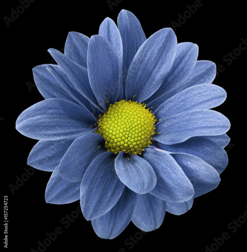Fotobehang Gerbera Blue gerbera flower. Black isolated background with clipping path. Closeup. no shadows. For design. Nature.