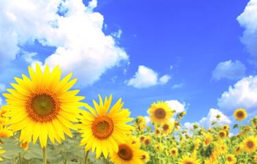 Sunflowers on blue sky background