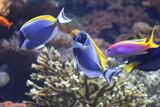 Coral fish blue tang