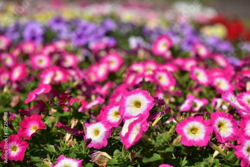 Staande foto Roze カラフルなペチュニア