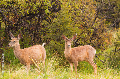 Beautiful Mule Deer Herd Poster