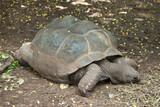 Galapagos Turtle.