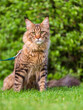 Black tabby Maine Coon cat with leash sitting on green grass in park. Pets walking outdoor adventure.