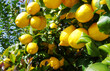 Quadro ripe lemons hanging on a tree branch