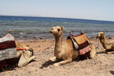 Camels by the sea