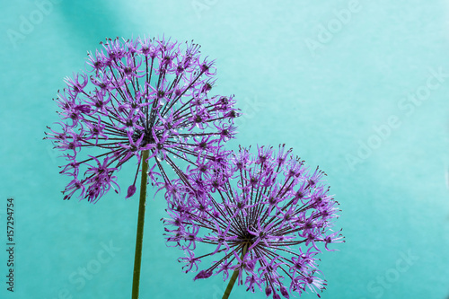 alium flowers looks like dandelion flowers with water drops over cyan background