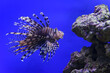 Leinwandbild Motiv Lionfish with striped pattern on body swims near stones underwater, diving, sealife, selective focus