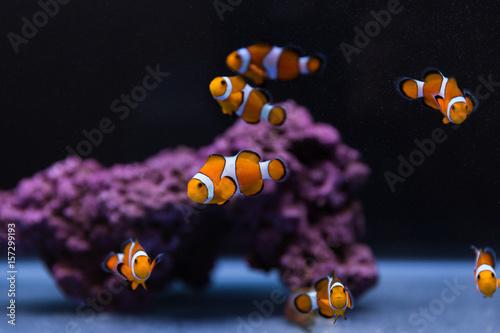 Clown fish buy photos ap images detailview for Buy clown fish