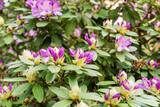 Beautiful Rhododendron flower bushes in a Garden Landscape