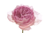 Rosa Centifolia vor weißem Hintergrund - 157309721