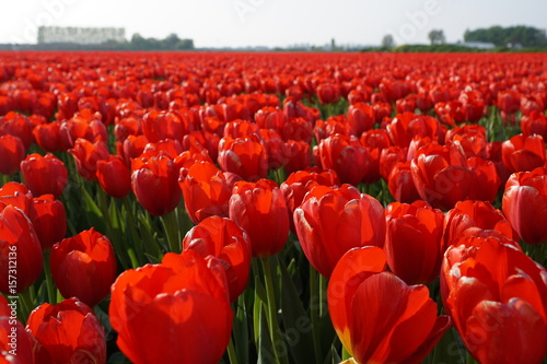 Fotobehang Rood Field of red tulips