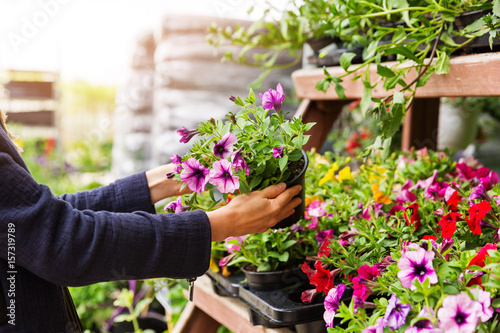 woman chooses petunia flowers at garden plant nursery store