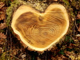 Close up of a cross section of an acacia tree, showing heart shaped growth - 157322911