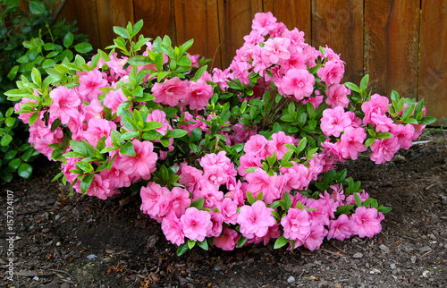 Fotobehang Azalea Azalea, flowering shrubs member of the genus Rhododendron