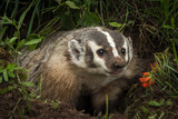 North American Badger (Taxidea taxus) Tongue Out