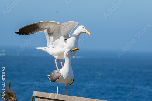 Fotobehang Western gull at Point Lobos State Reserve, California coast
