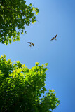 Barn swallow over blue sky background - 157347367