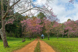 hut and with pink cherry or Thai sakura blooming during winter at Chiang Mai Thailand