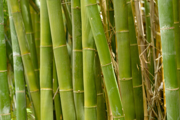 Bamboo shoots growing in Australia.