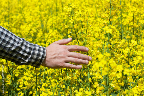 In de dag Geel Male peasant in field of yellow blooming canola, and stroked the flowers closeup. Agriculture the cultivation of crops.