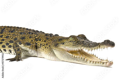 Australian saltwater crocodile, Crocodylus porosus, isolated on a white background with shadow Poster