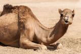 liegendes Kamel mit witzigem Gesichtsausdruck